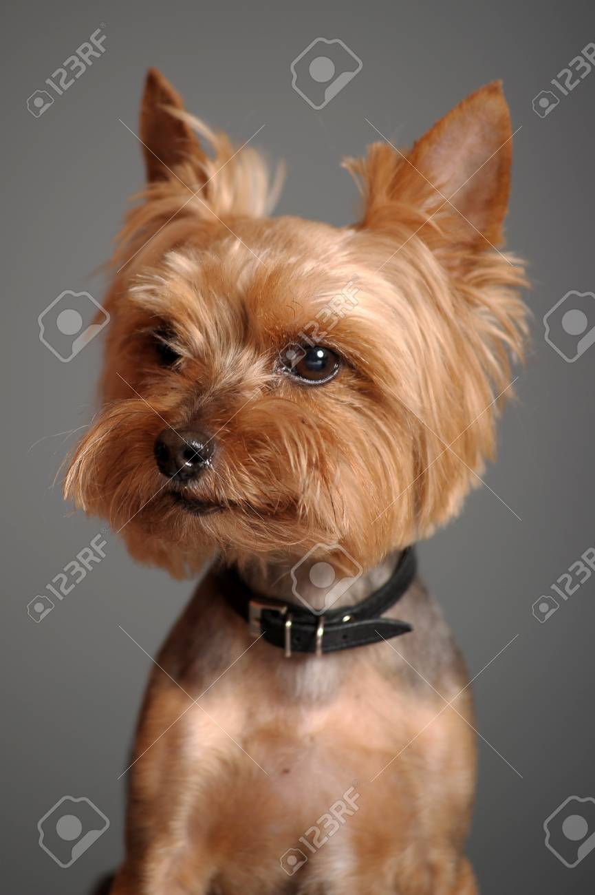 yorkshire terrier Stock Photo - 9582271