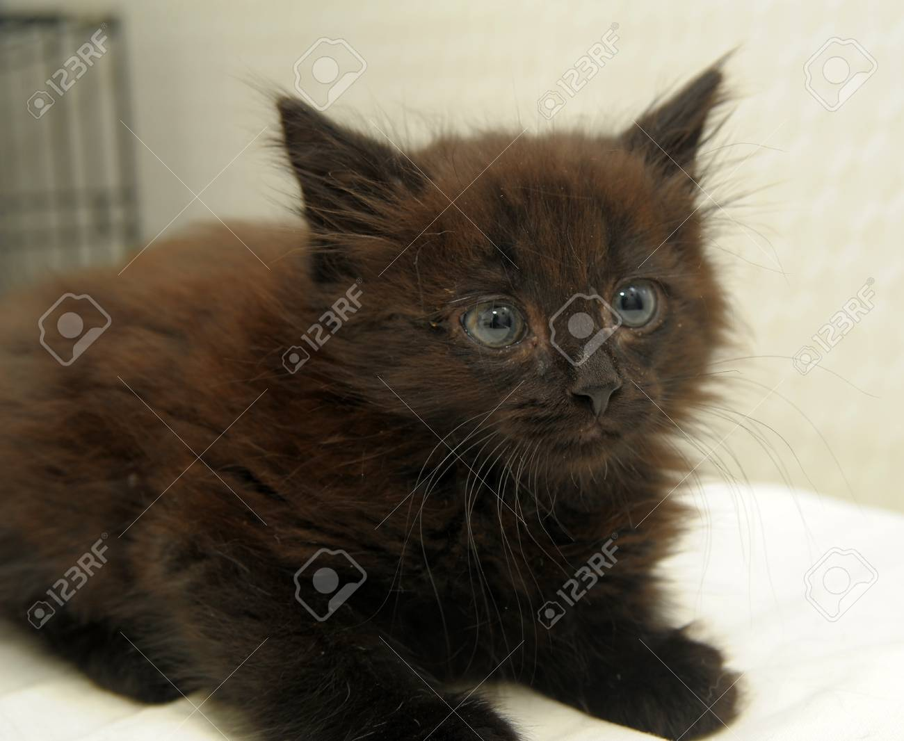 Six weeks old red kitten in a magician Stock Photo - 10921278