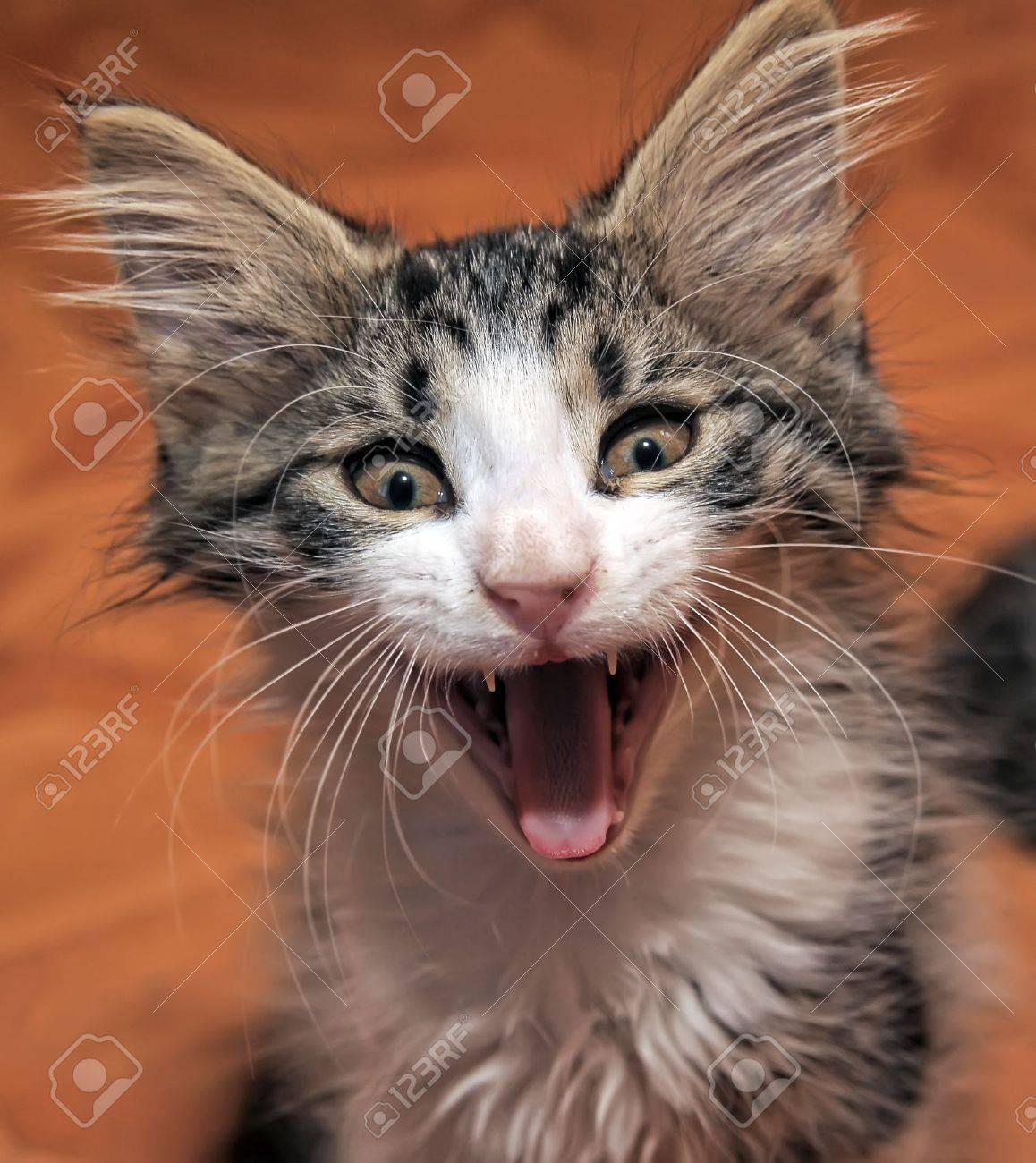 funny kitten yawns - 10221467