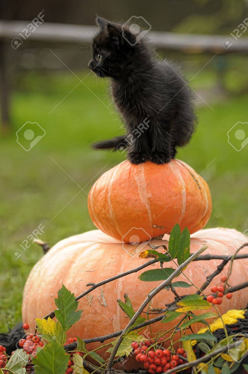black cat sitting on pumpkin Stock Photo - 10746330