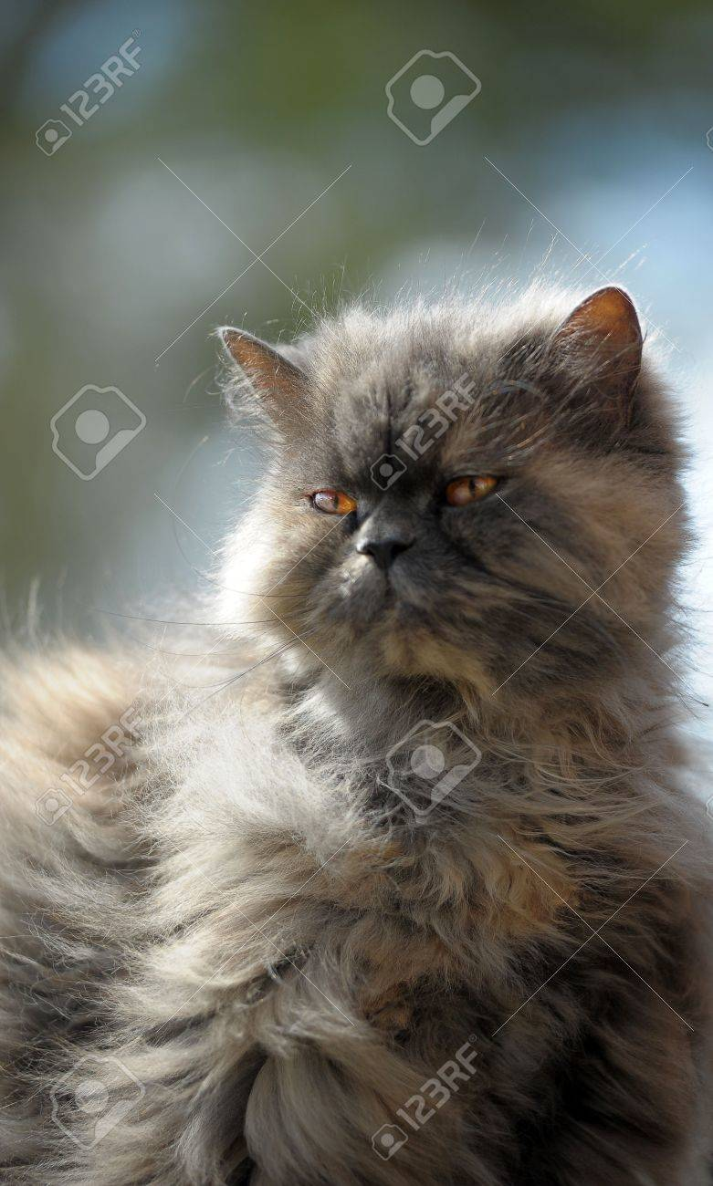 Gray Persian Cat Stock Picture And Royalty Free Image