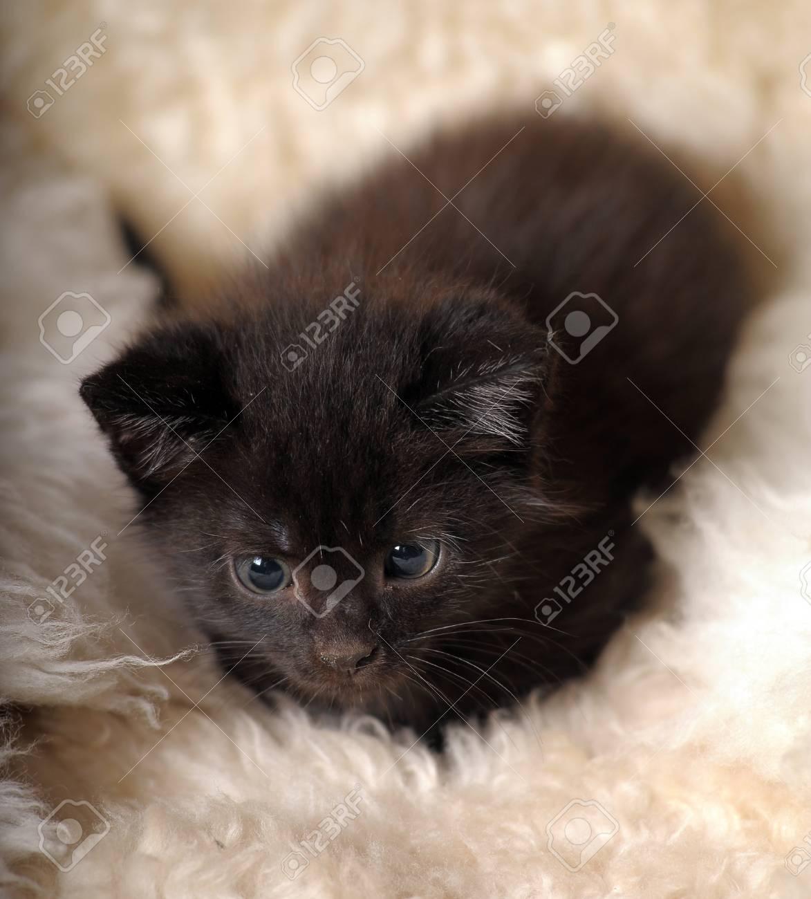 Immagini Stock Un Piccolo Gattino Nero Alletà Di Un Mese Image