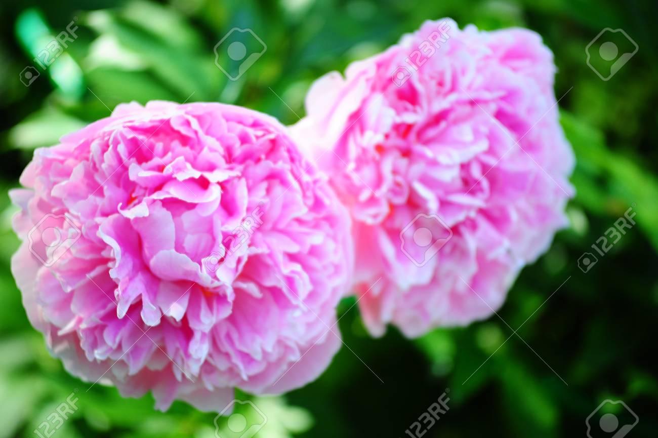 Lilac peonies Stock Photo - 11098427