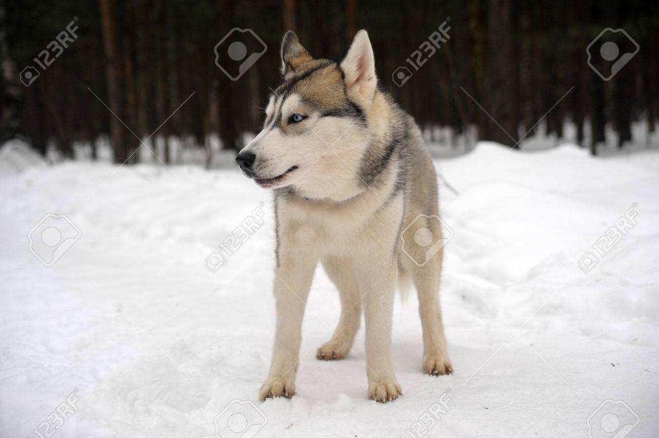 Husky dog Stock Photo - 11122607