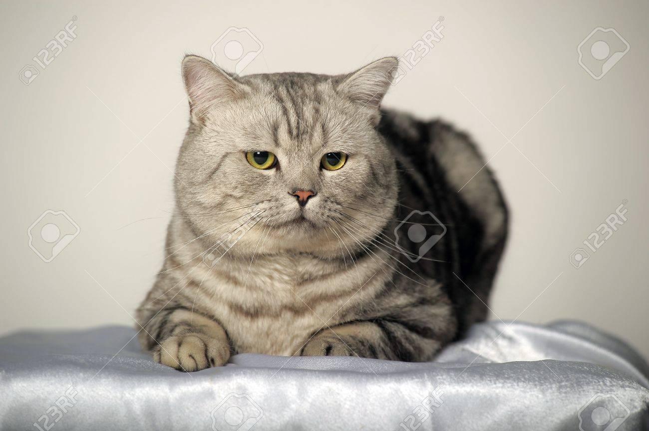 Фото британский полосатый кот