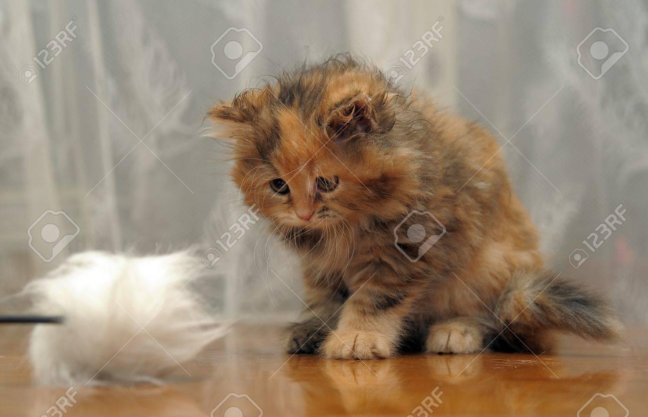 The small amusing fluffy kitten plays Stock Photo - 12676045