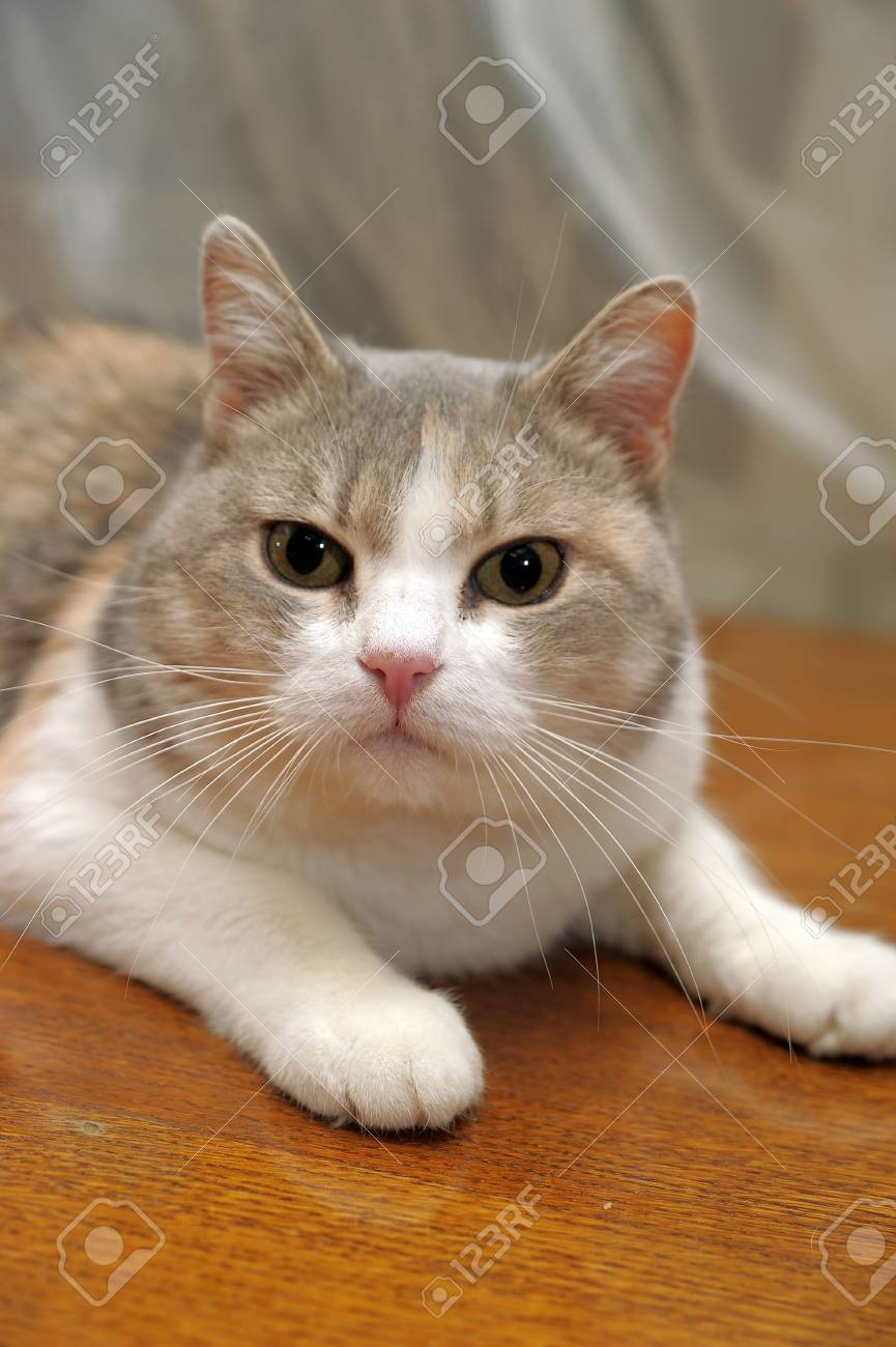 Gray with red and white a cat Stock Photo - 13506163