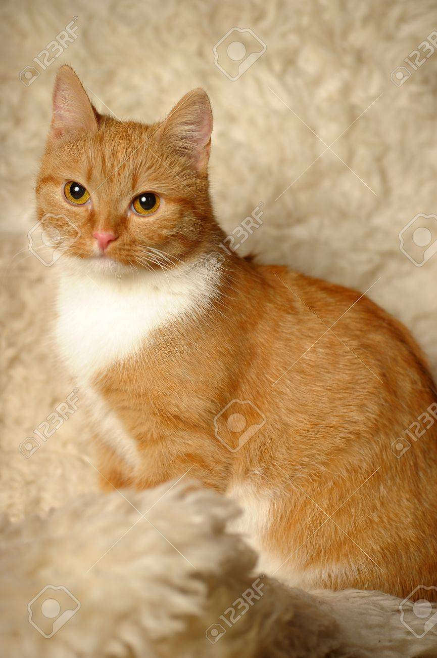 tiny red and white cat Stock Photo - 12026593