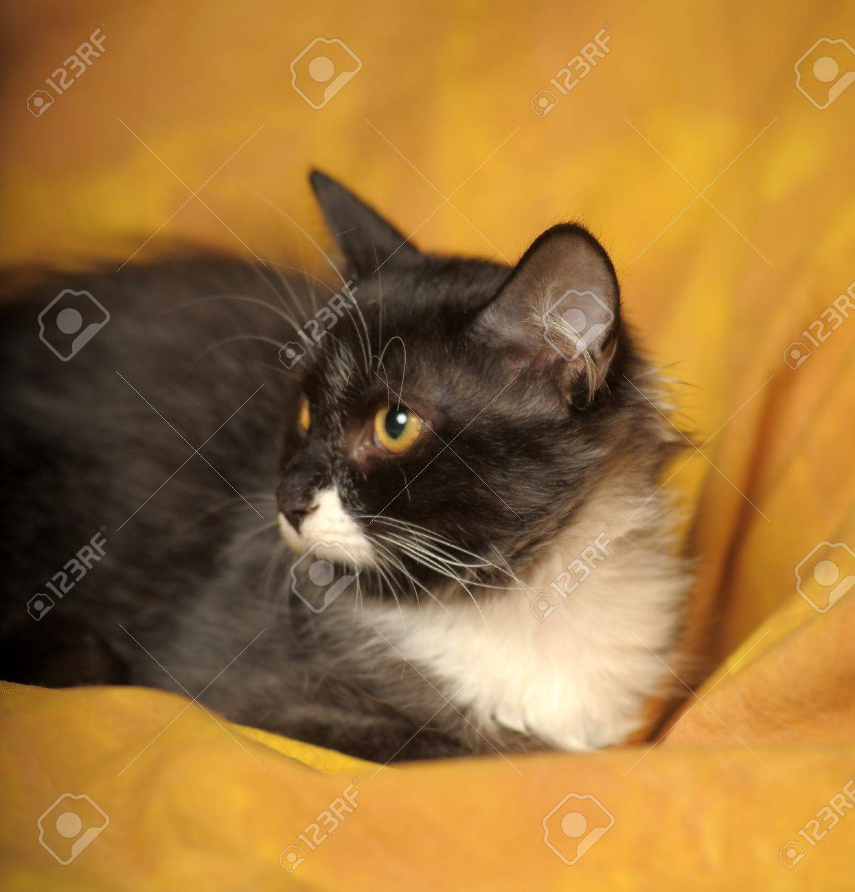 Black with white a kitten on a yellow background Stock Photo - 11960660