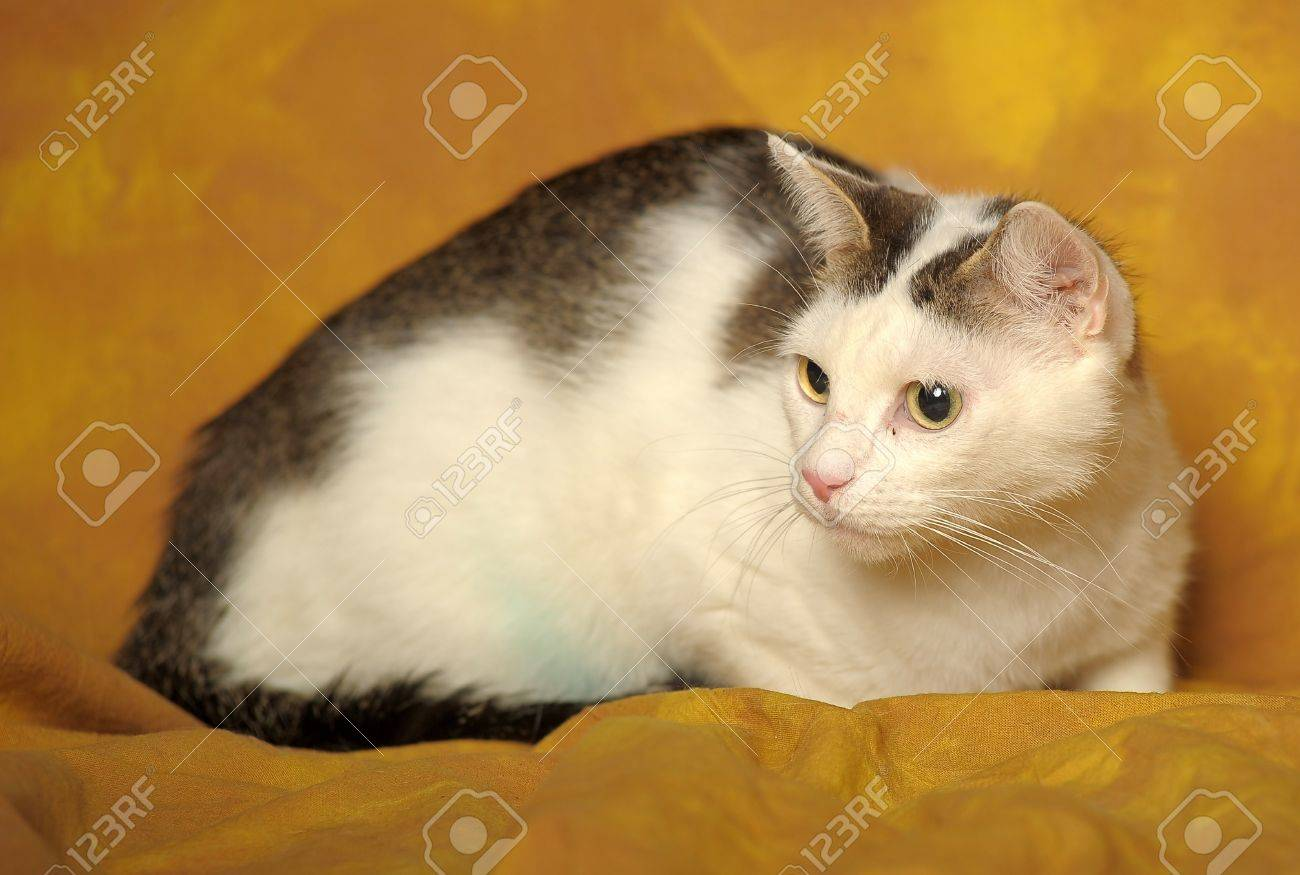 White cat with gray stains Stock Photo - 11994241