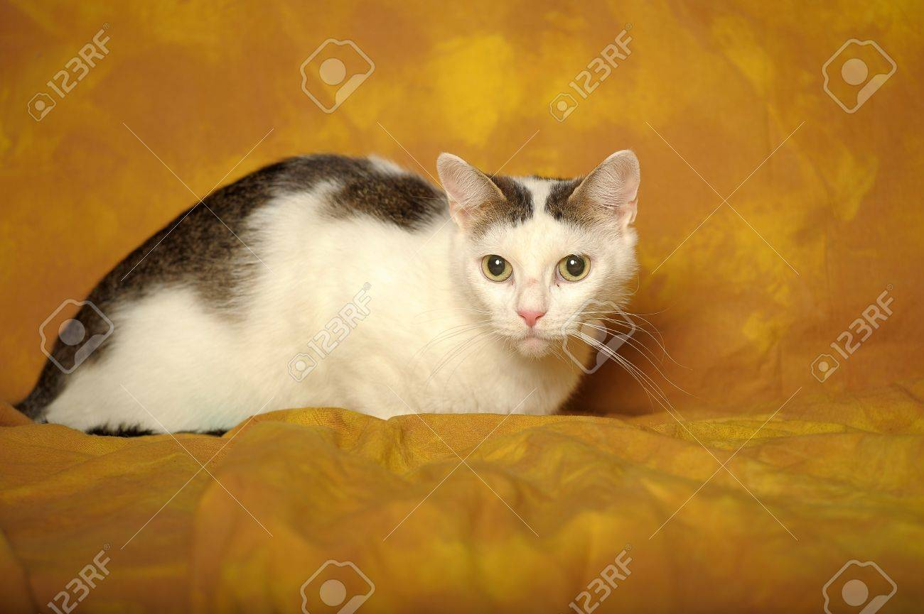 White cat with gray stains Stock Photo - 11994246