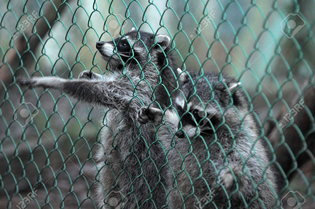 https://previews.123rf.com/images/evdoha/evdoha1201/evdoha120101068/11994084-Raccoon-pushing-paws-through-a-cage-lattice-Stock-Photo.jpg