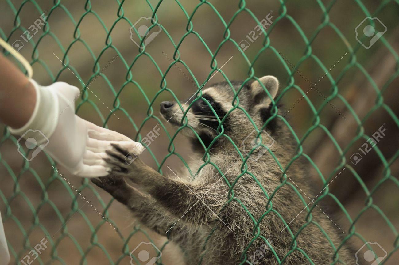 Raccoon pushing paws through a cage lattice Stock Photo - 11994086