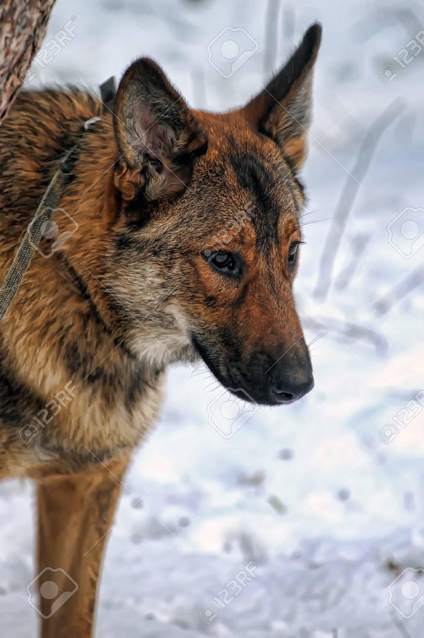Beautiful fox like dog standing in a snowy landscape Stock Photo - 17581046