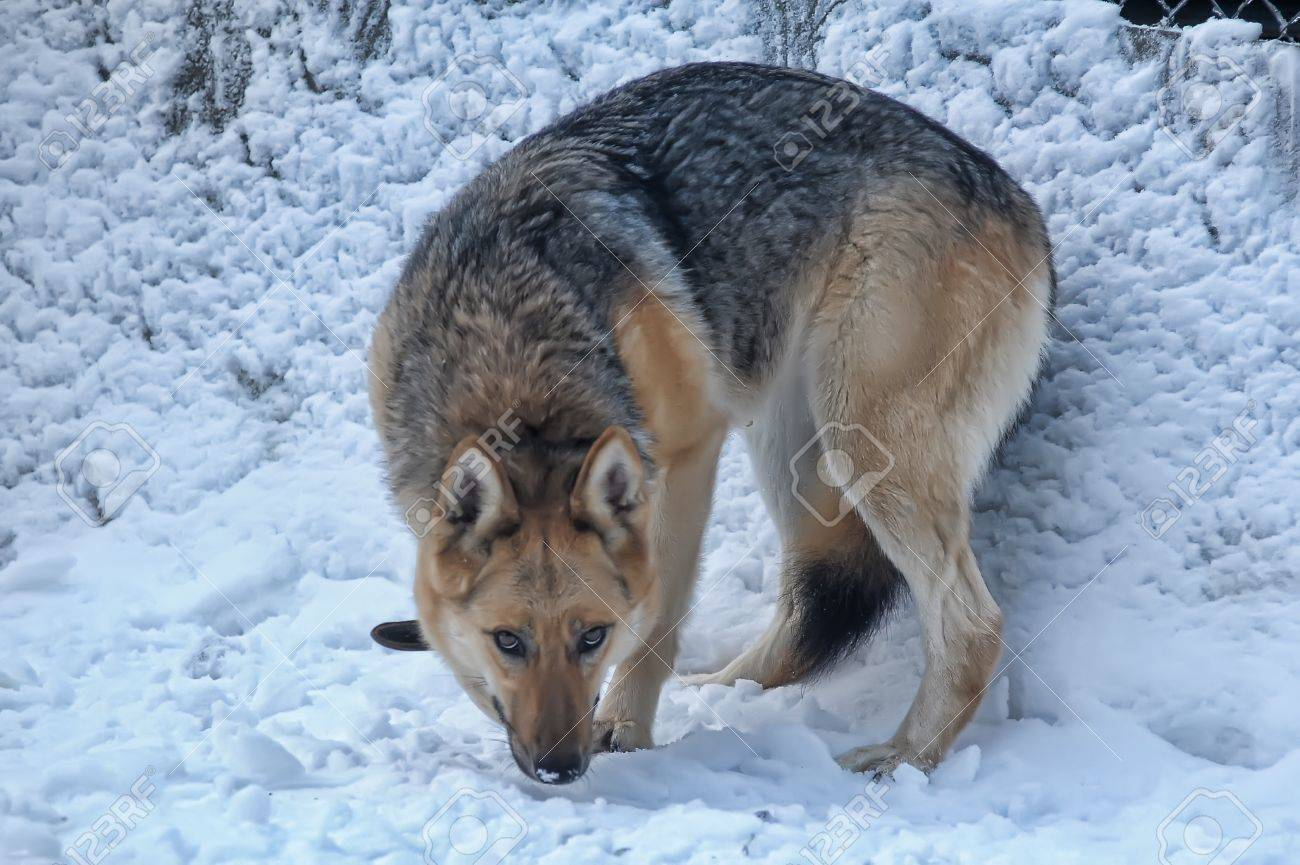 The metis of a wolf in nursery Stock Photo - 11980990