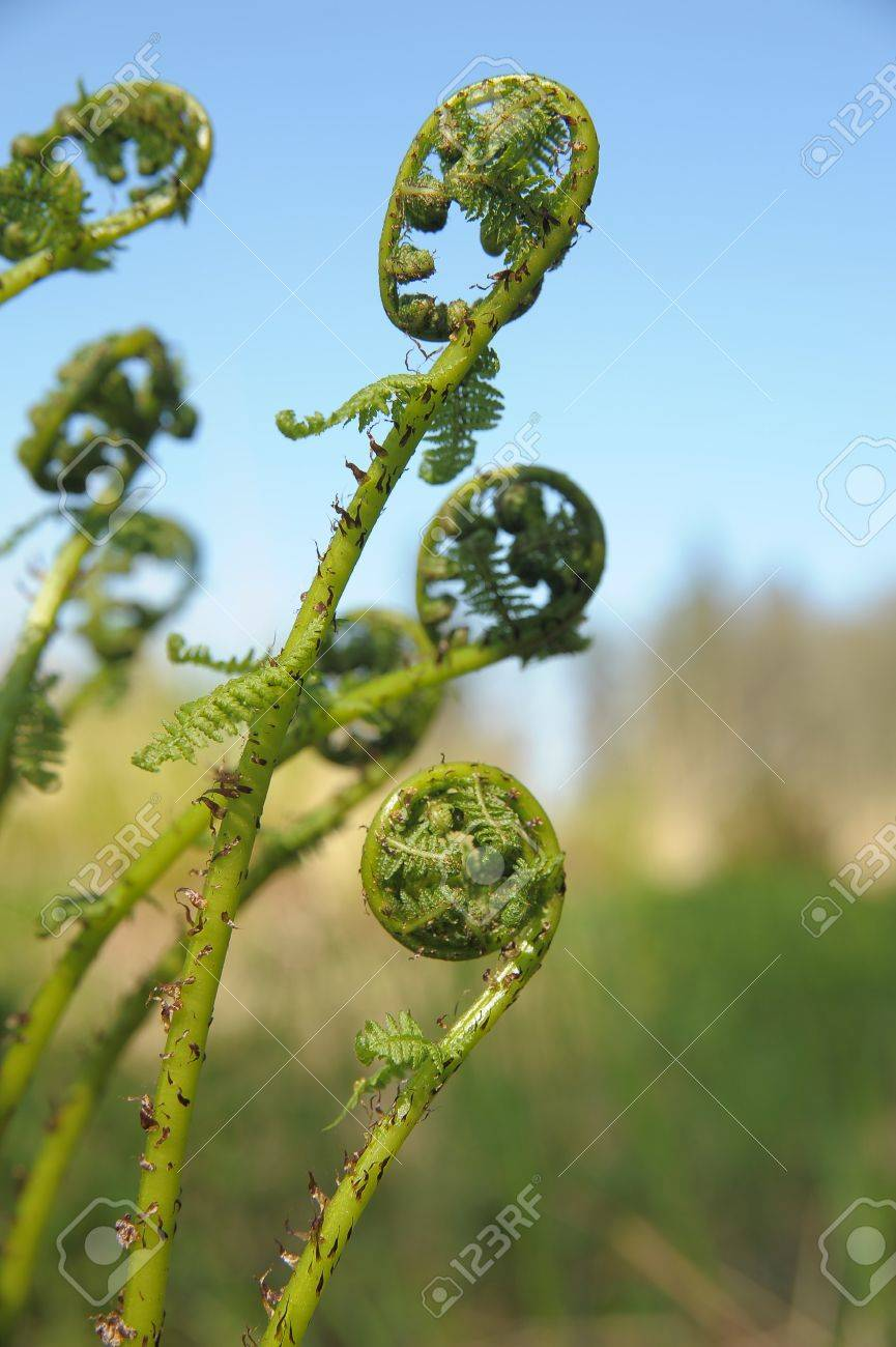 Spiral of young fern in spring Stock Photo - 13499223