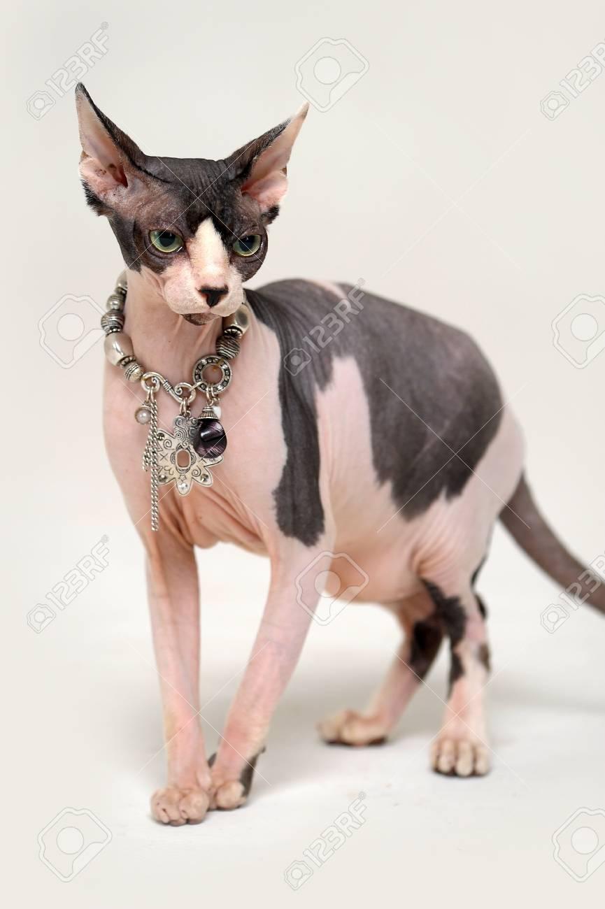 Sphynx cat Stock Photo - 13663383
