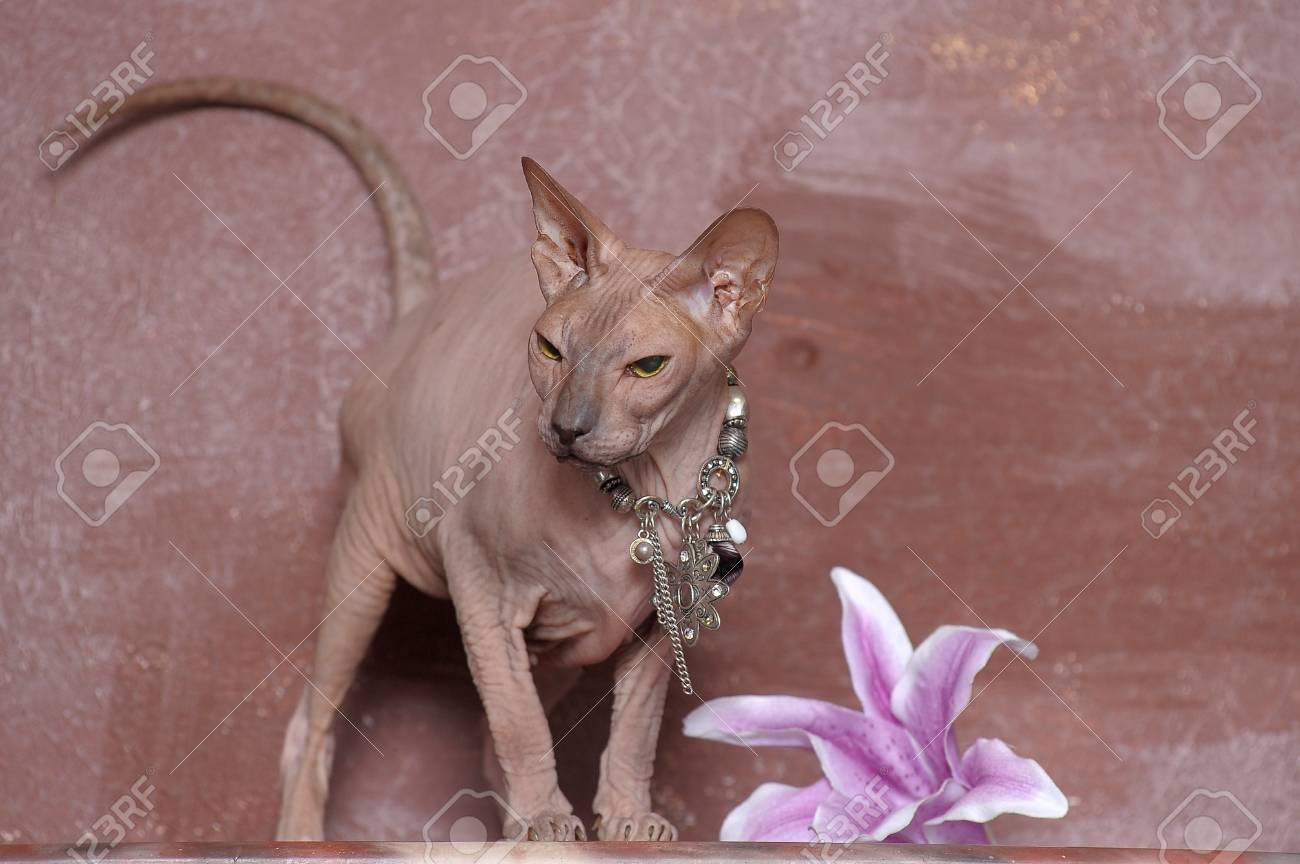 Sphynx cat Stock Photo - 13663990