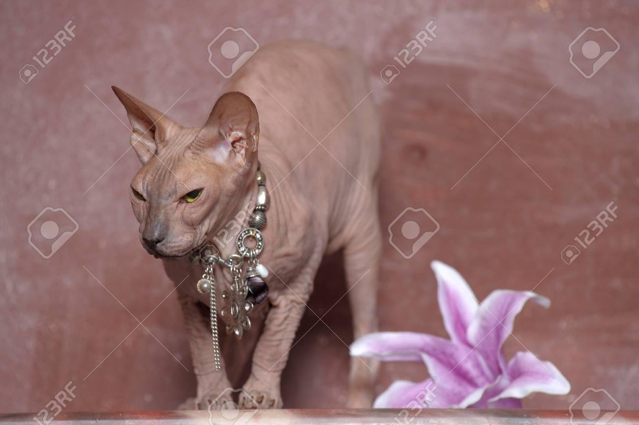Sphynx cat Stock Photo - 13664000