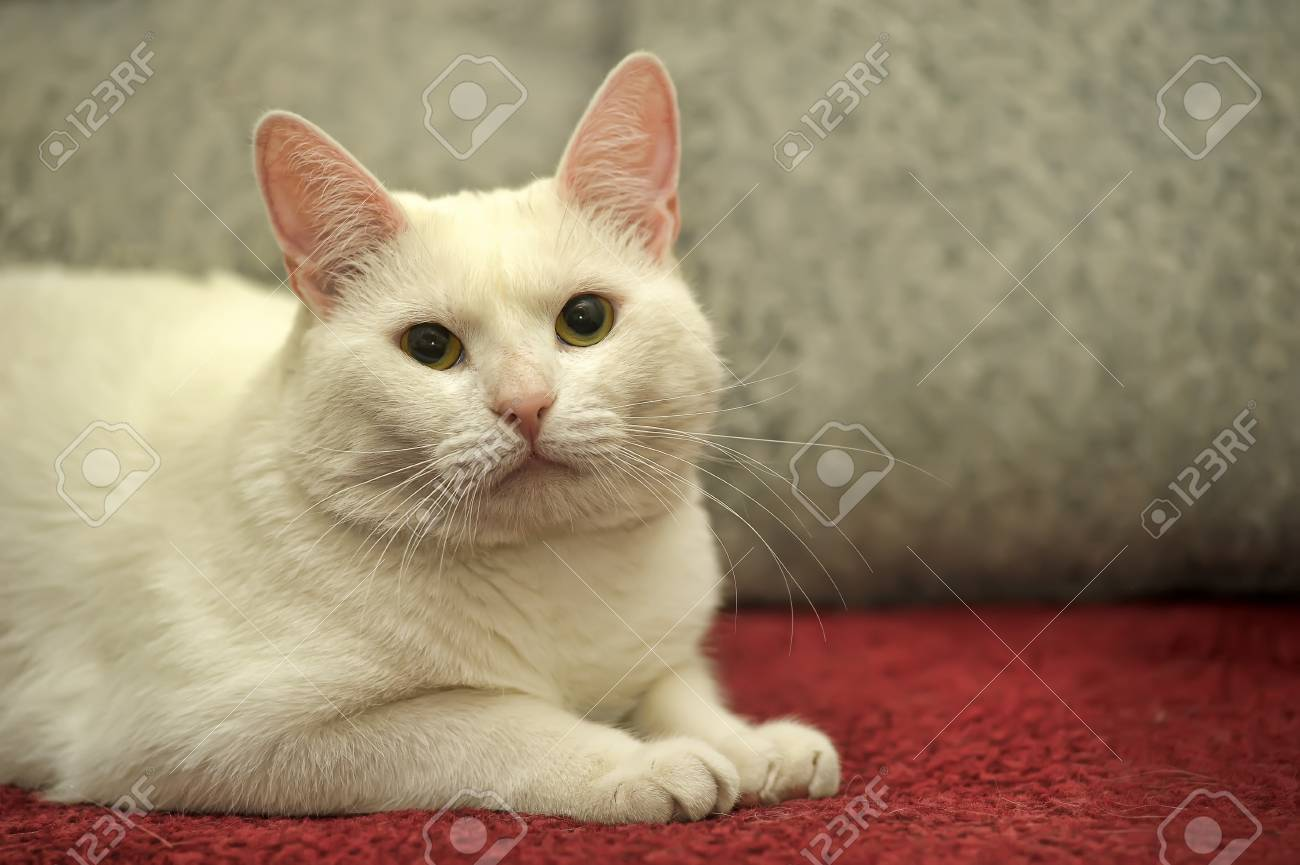 white cat on a sofa Stock Photo - 13813280