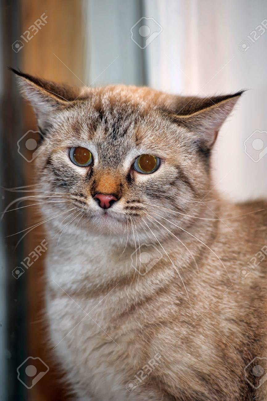 Thai cat Stock Photo - 13910658
