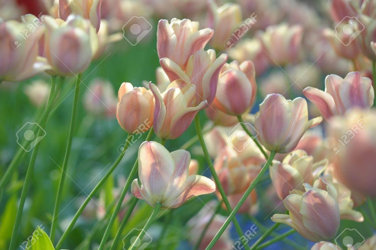 Tulip Stock Photo - 13929125