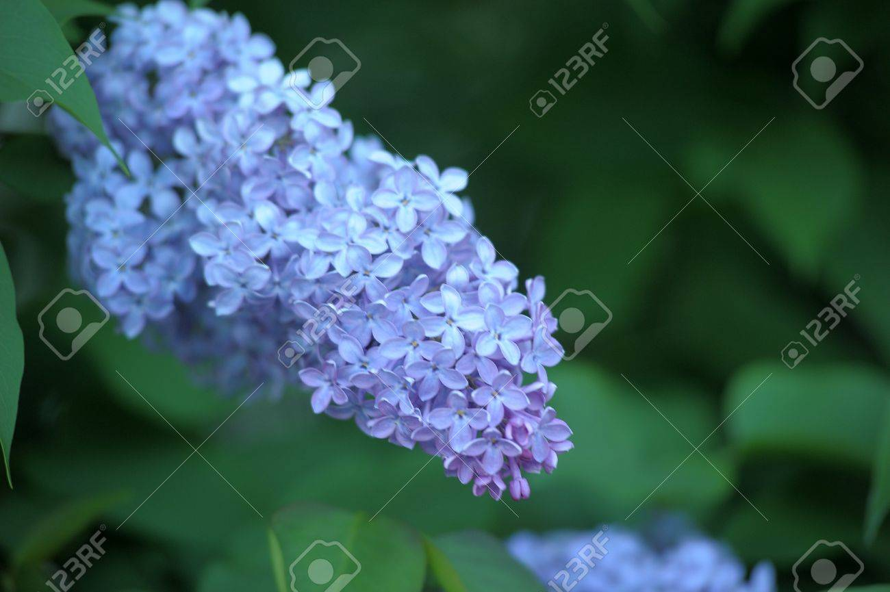 lilac on a tree Stock Photo - 13929186
