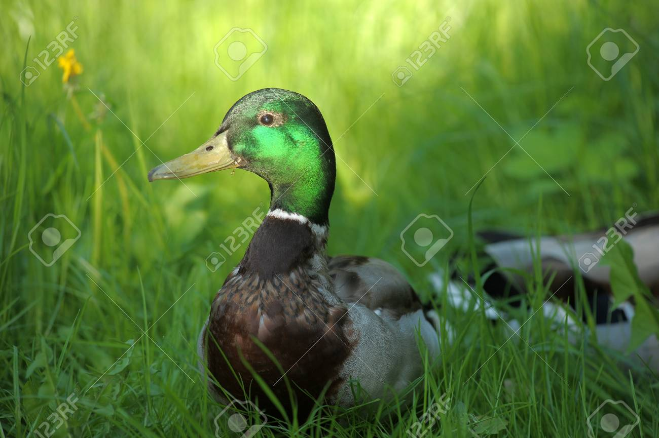 drake in a grass Stock Photo - 13929184