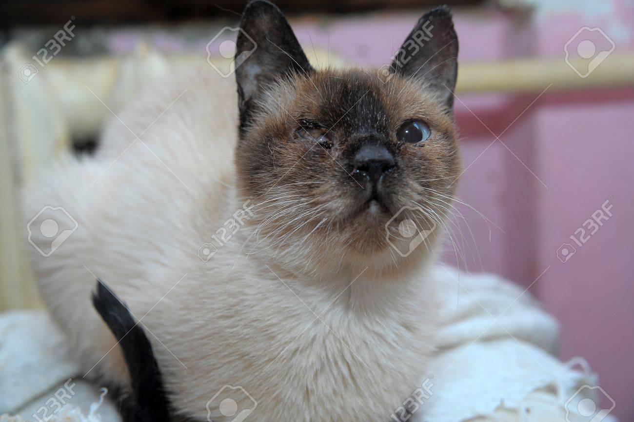 Thai cat Stock Photo - 14086670