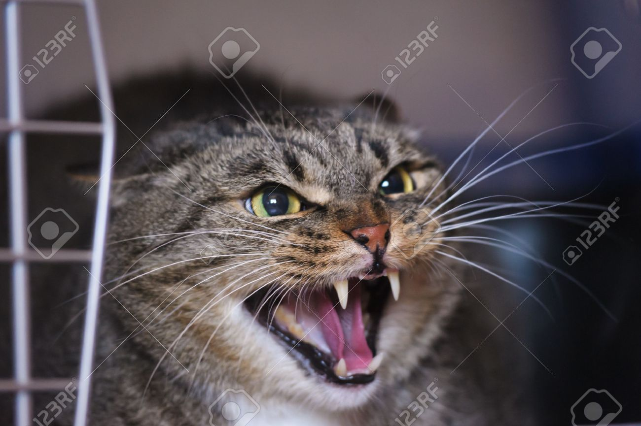 angry cat hissing aggressive Stock Photo - 14106032