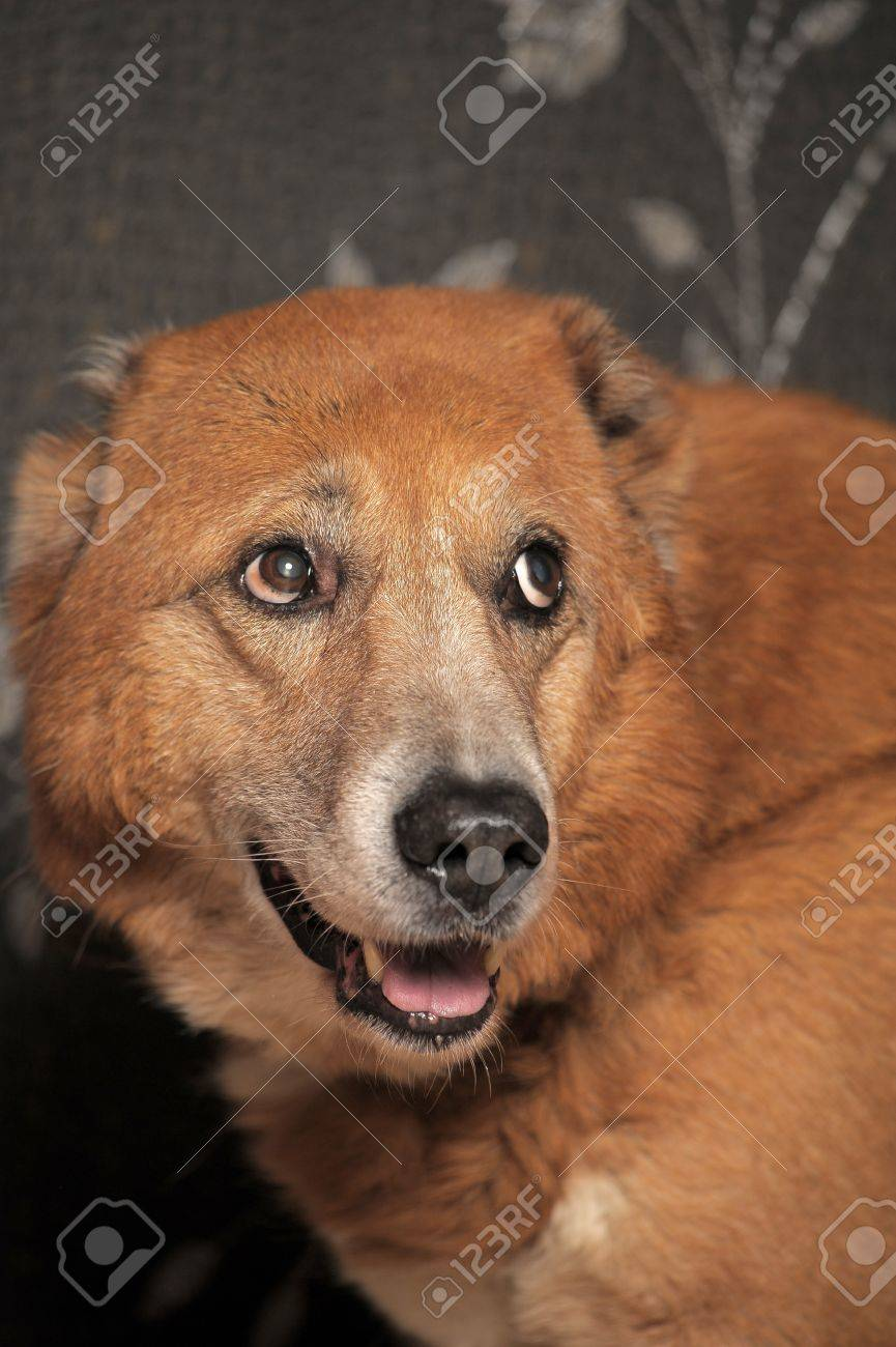 Beautiful alabai central Asian shepherd dog Stock Photo - 14195678
