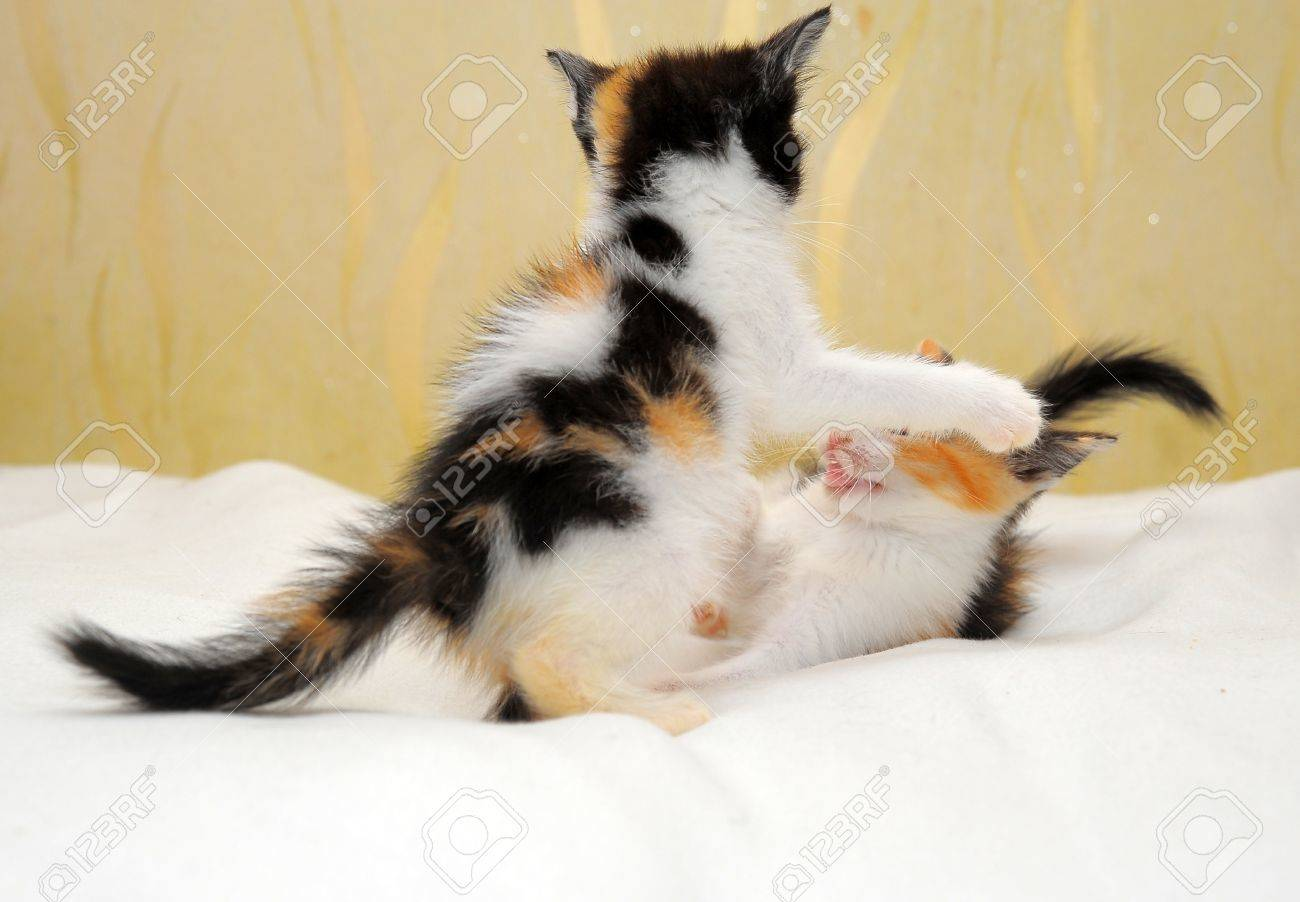 two kittens playing Stock Photo - 14291143
