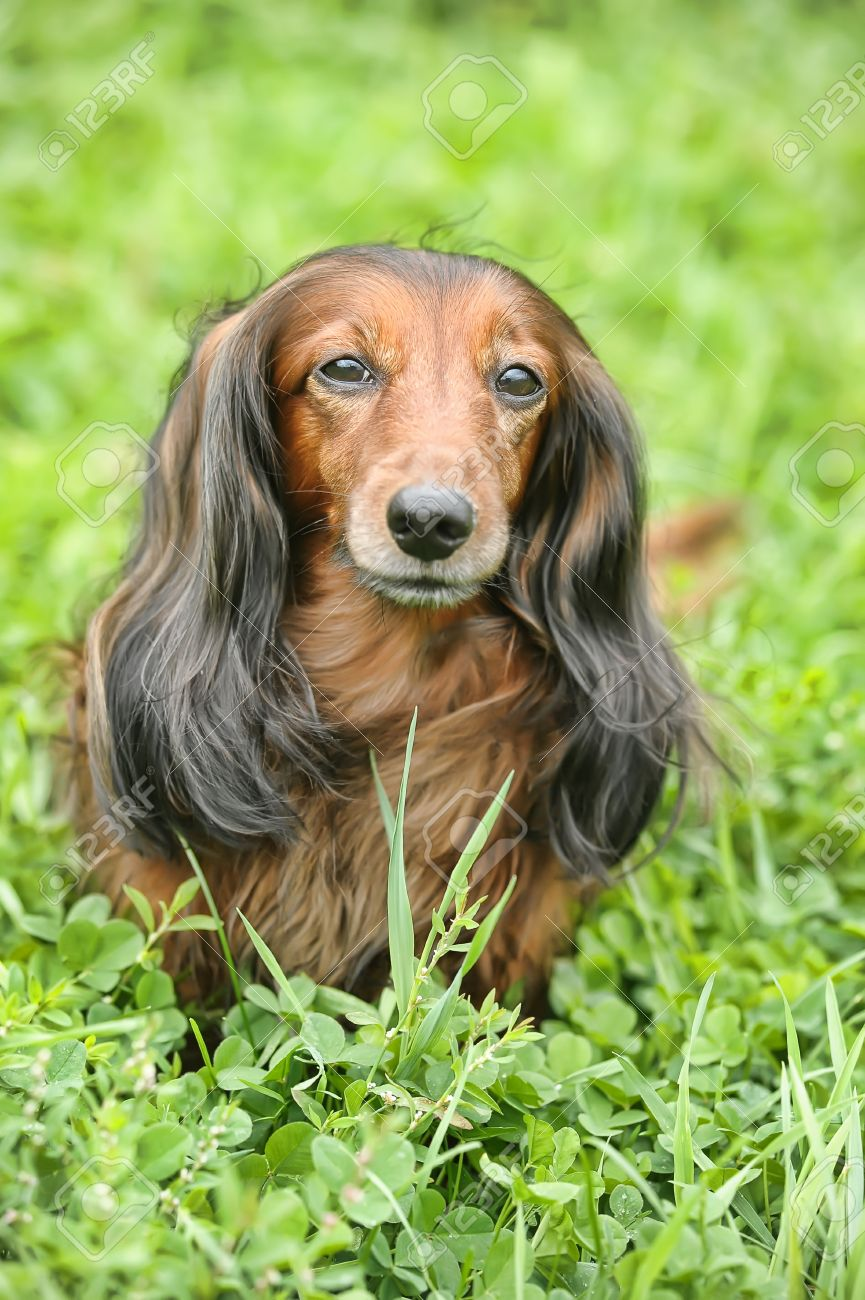 long haired miniature dachshund stock photo picture and royalty