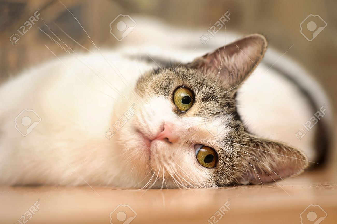 white with gray smooth cat Stock Photo - 15035428