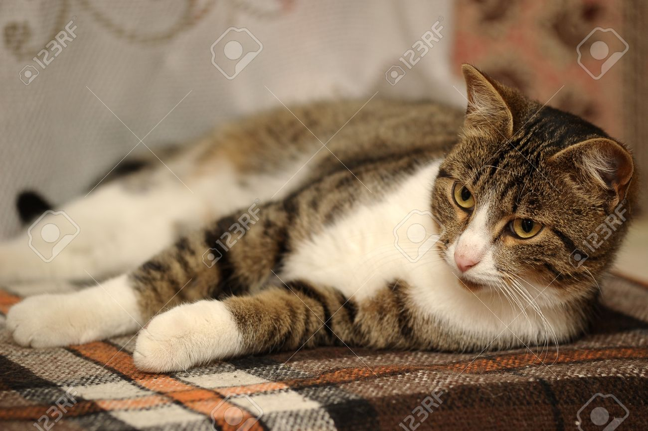 European Shorthair Cat Stock Picture And Royalty Free Image
