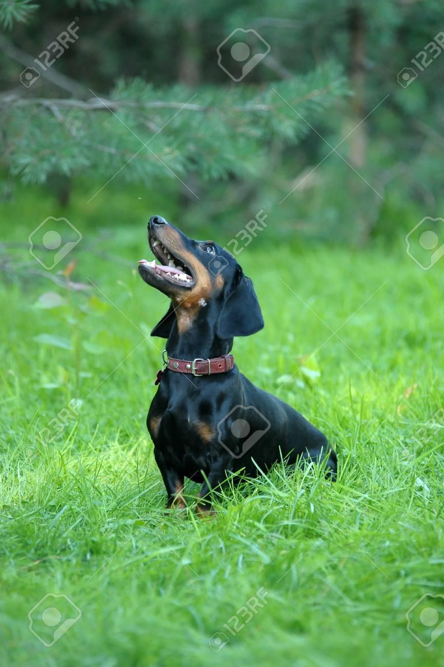 dachshund Stock Photo - 15225338