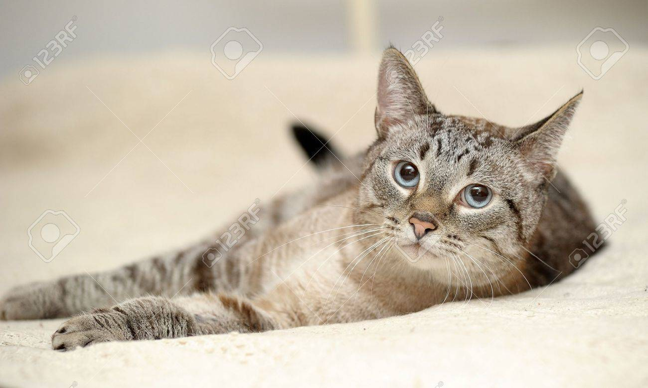 Thai cat with blue eyes Stock Photo - 15155389