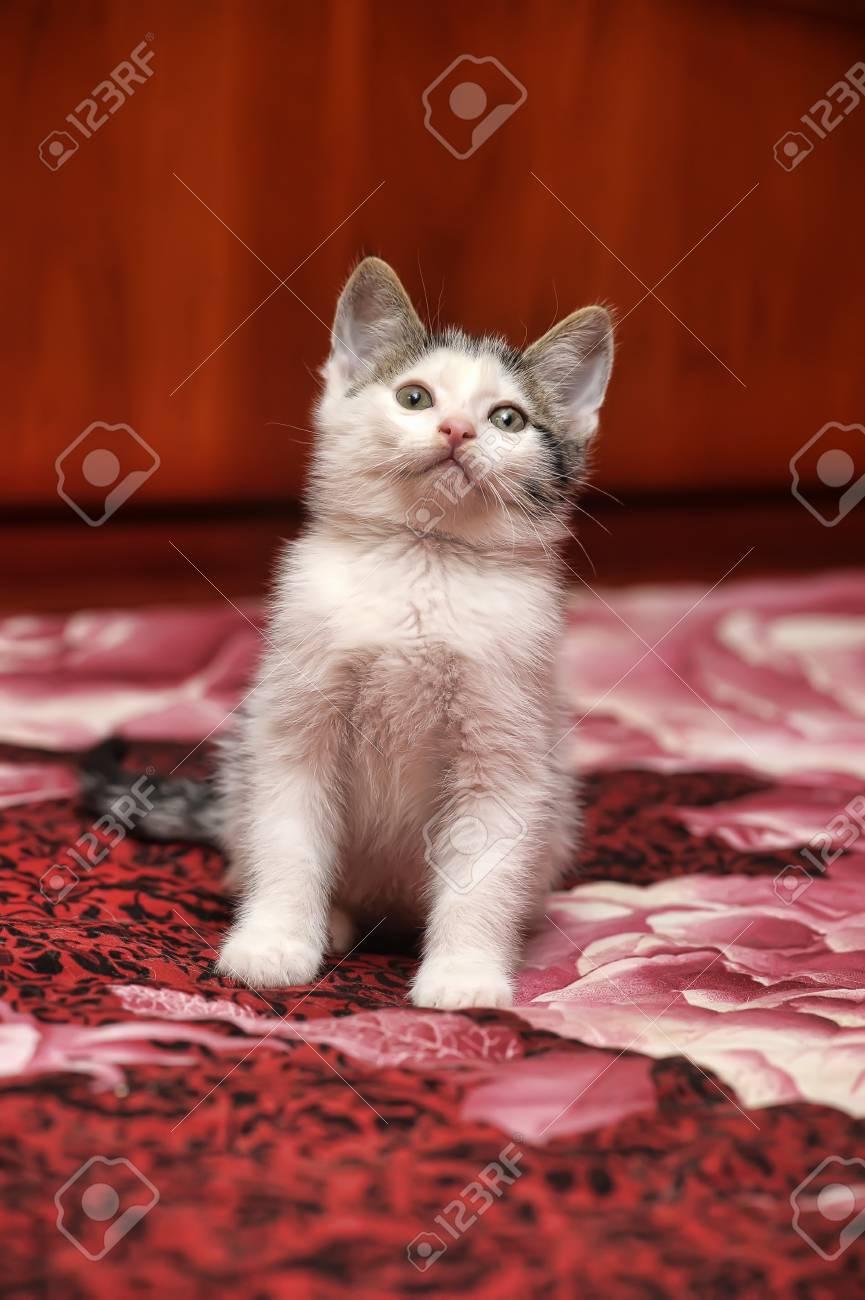 Siberian kitten Stock Photo - 15809060