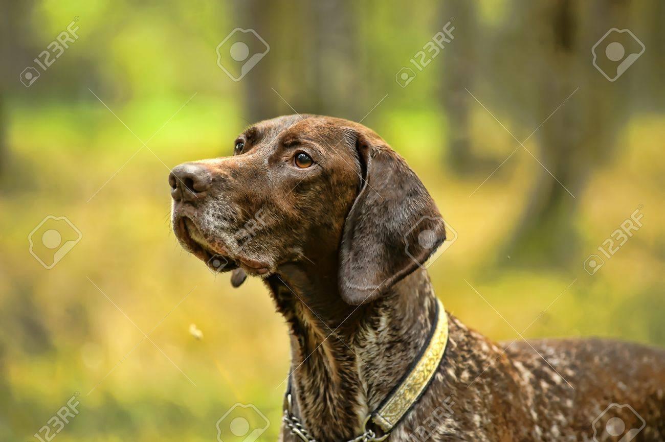 Deutsch Kurzhaar German Short-haired Pointing Dog Stock Photo - 15478739