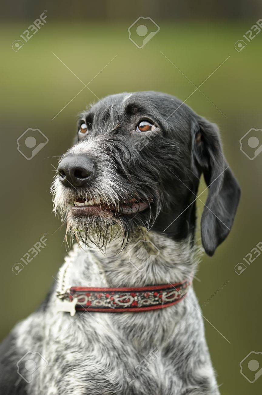 German Wirehaired Pointer Stock Photo, Picture And Royalty Free ...