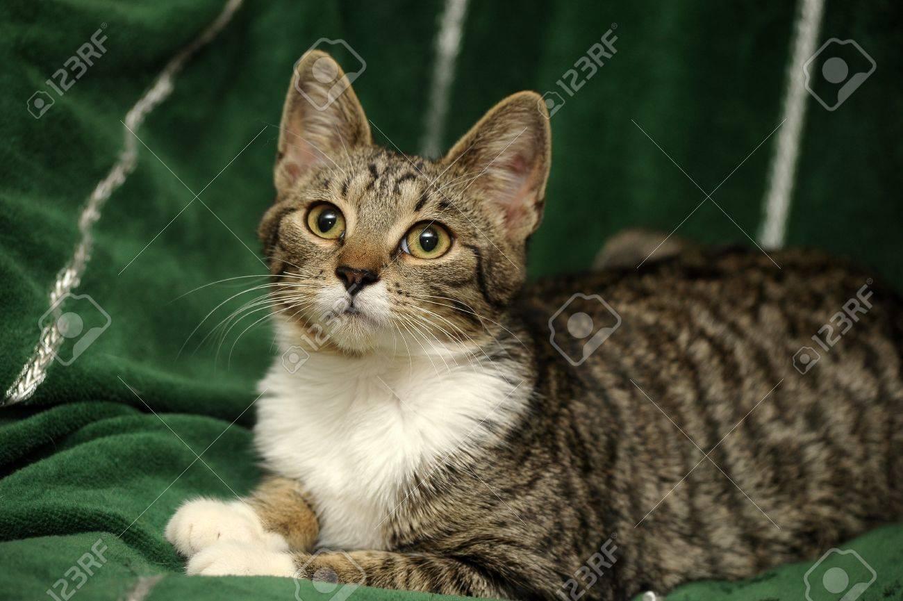tabby cat Stock Photo - 15662384