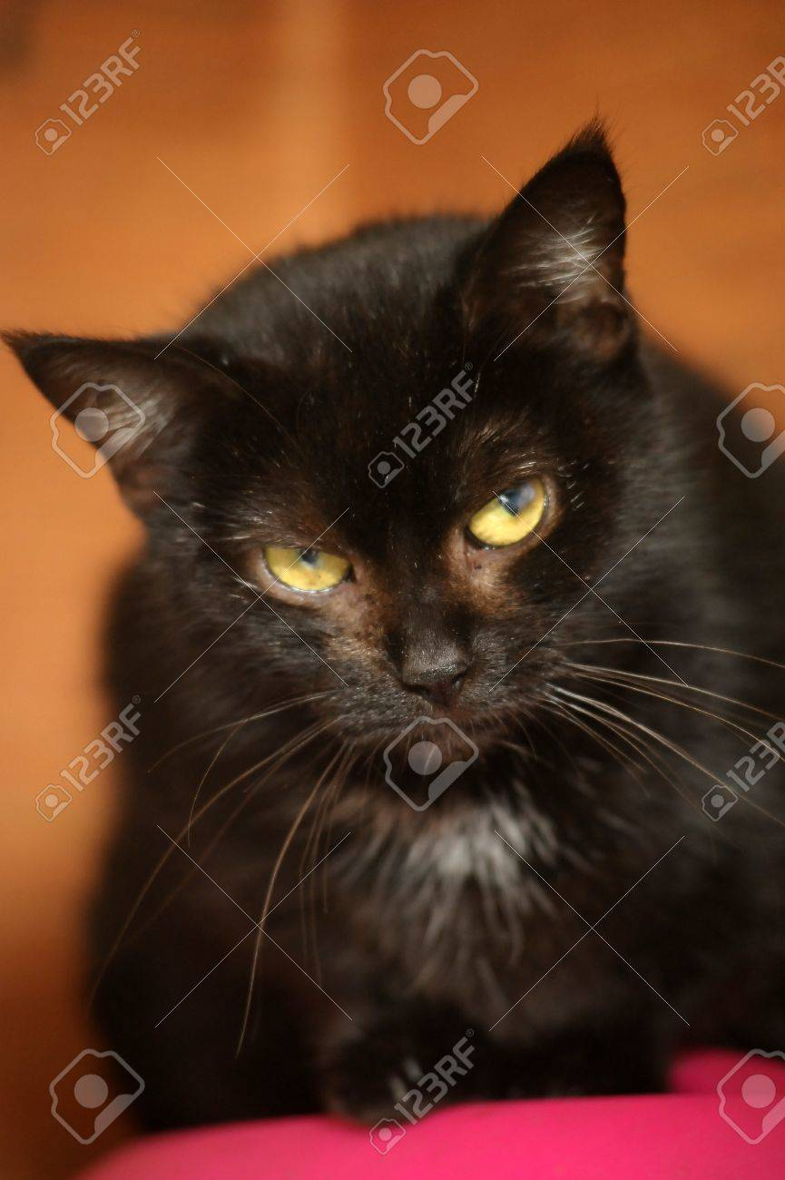 black cat with a white spot on the chest Stock Photo - 16216663