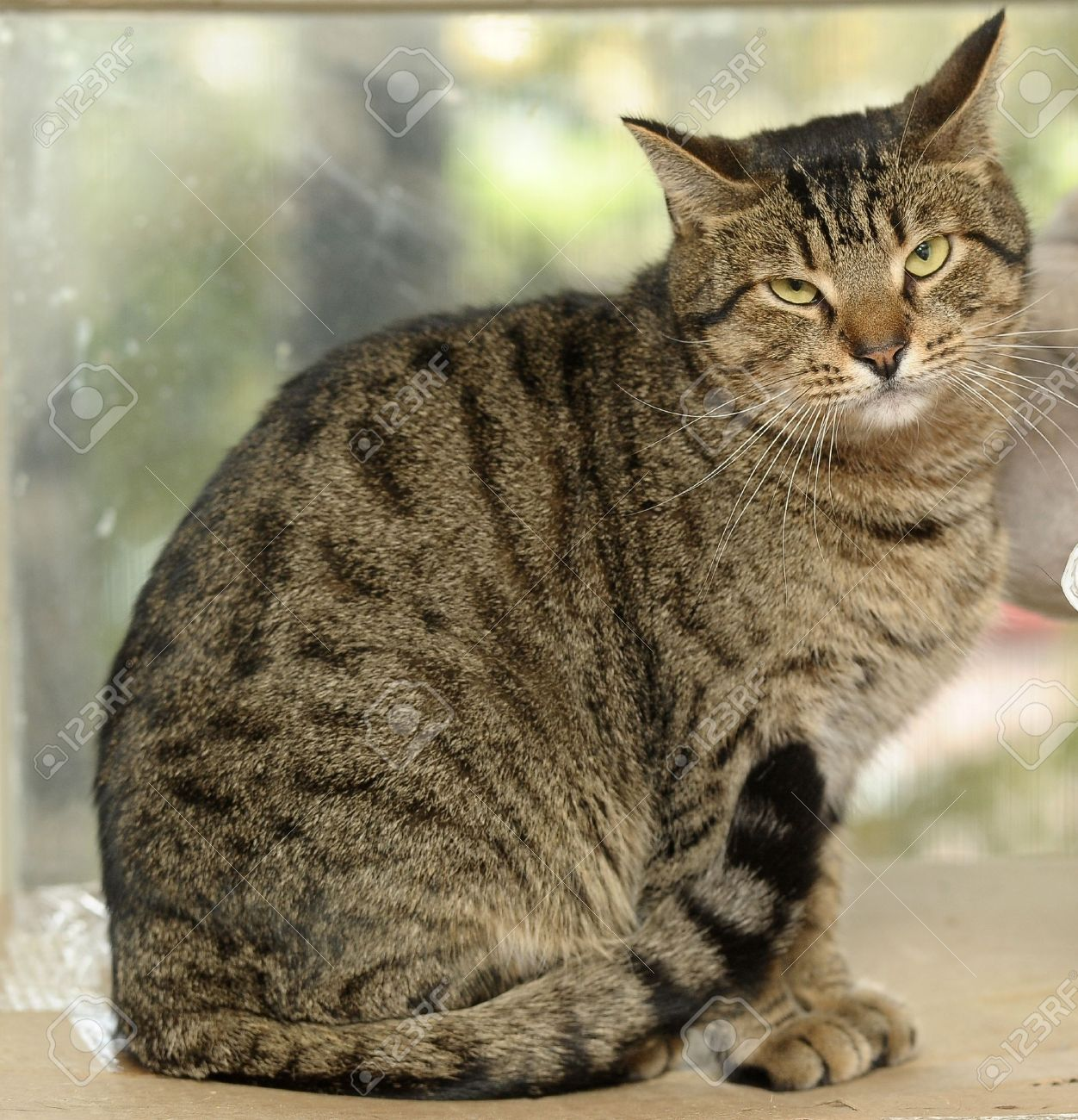 tabby cat stock photo picture and royalty free image image 15806352