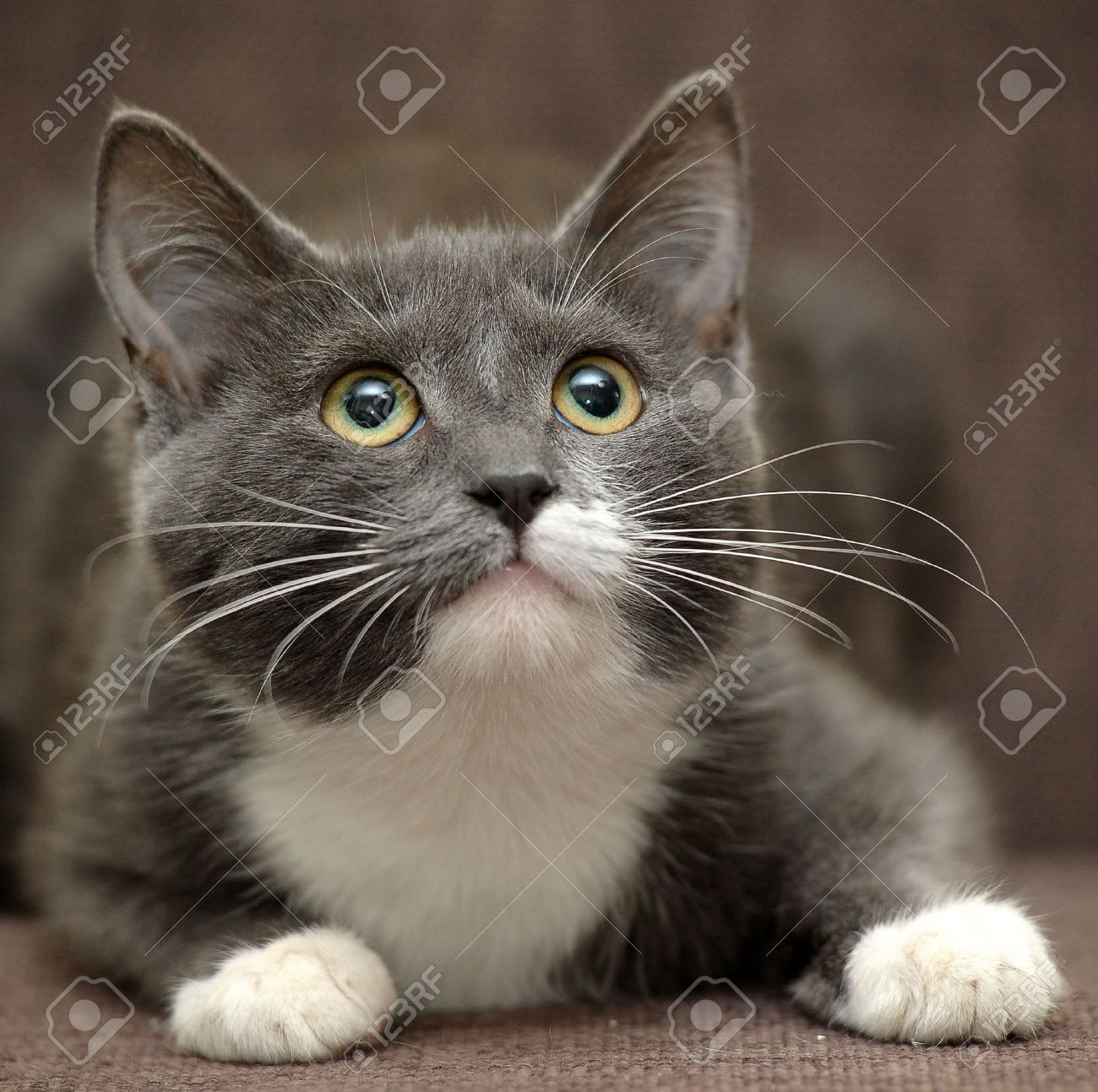 gray cat with white cat Stock Photo - 15826197