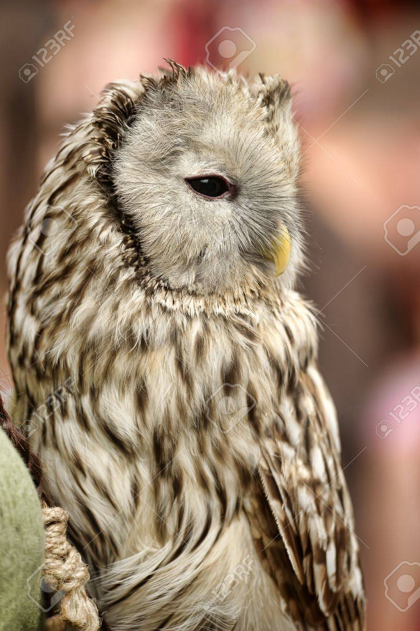 owl Stock Photo - 16037437