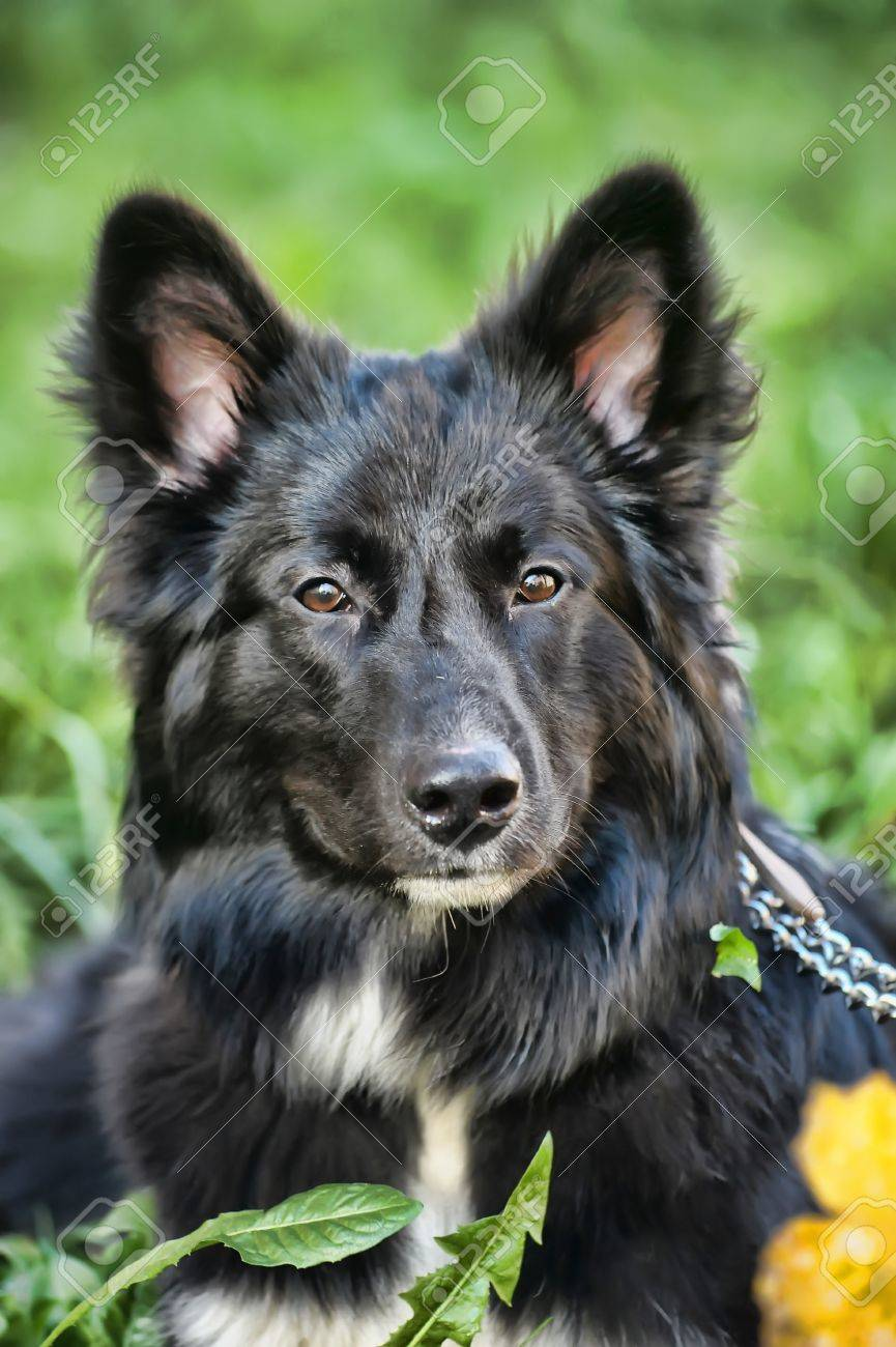 black with white chest mongrel dog Stock Photo - 17167099