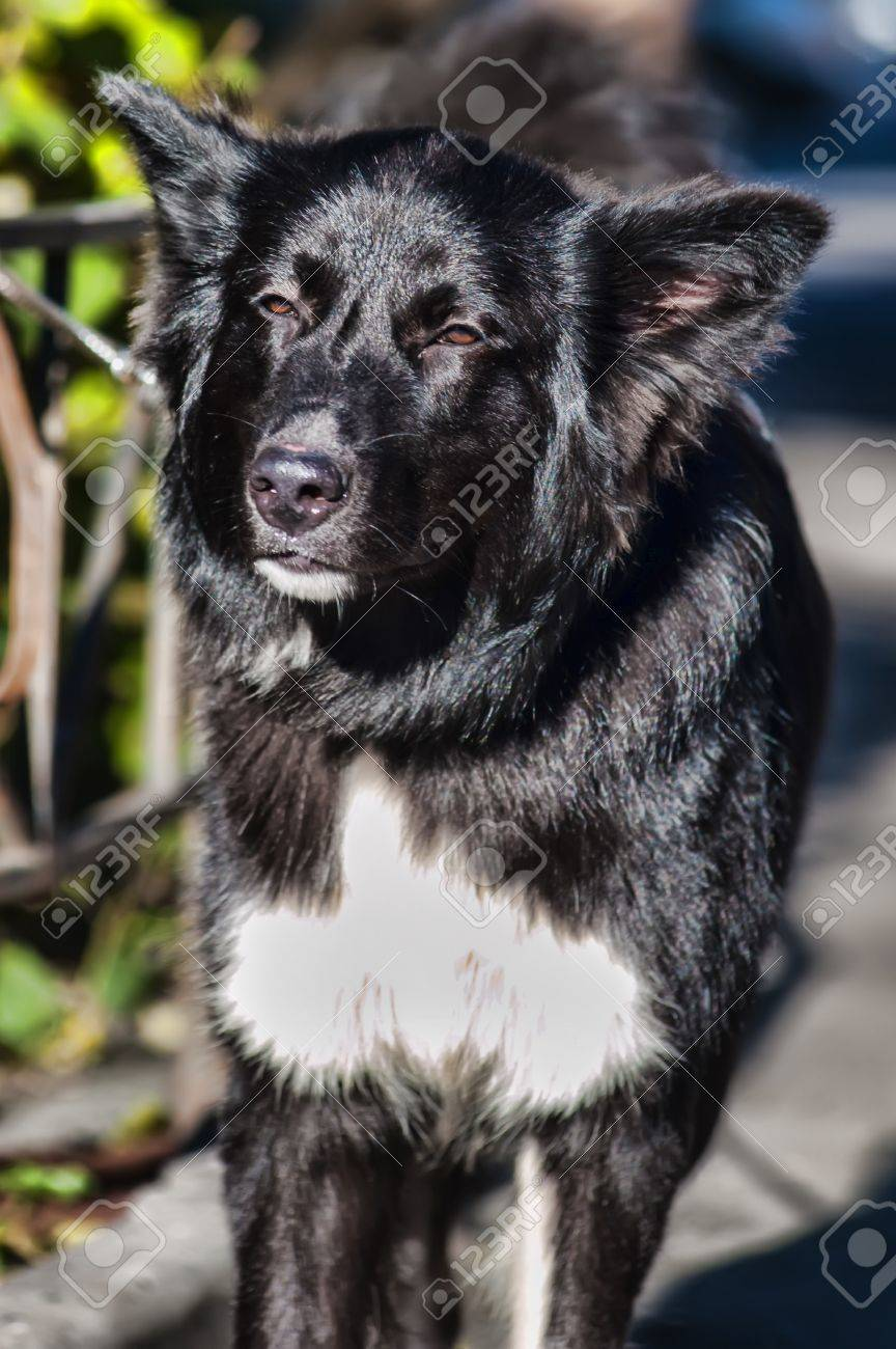 black with white chest mongrel dog Stock Photo - 17166350