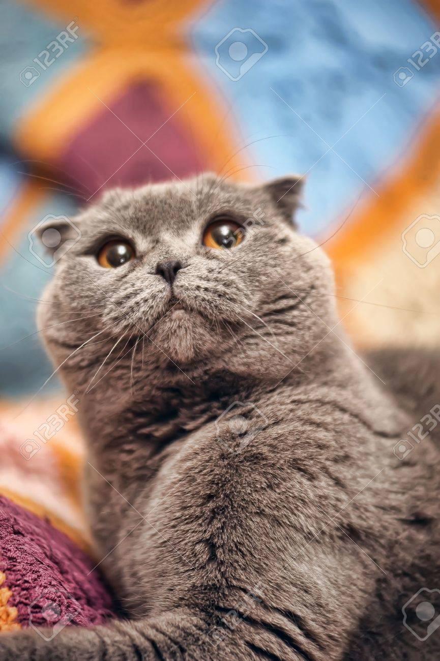 Scottish lop-eared gray cat Stock Photo - 15984107