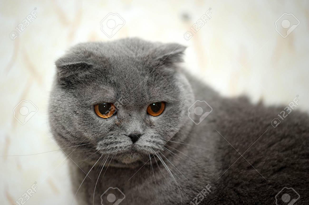 スコティッシュ スコティッシュフォールド灰色の猫