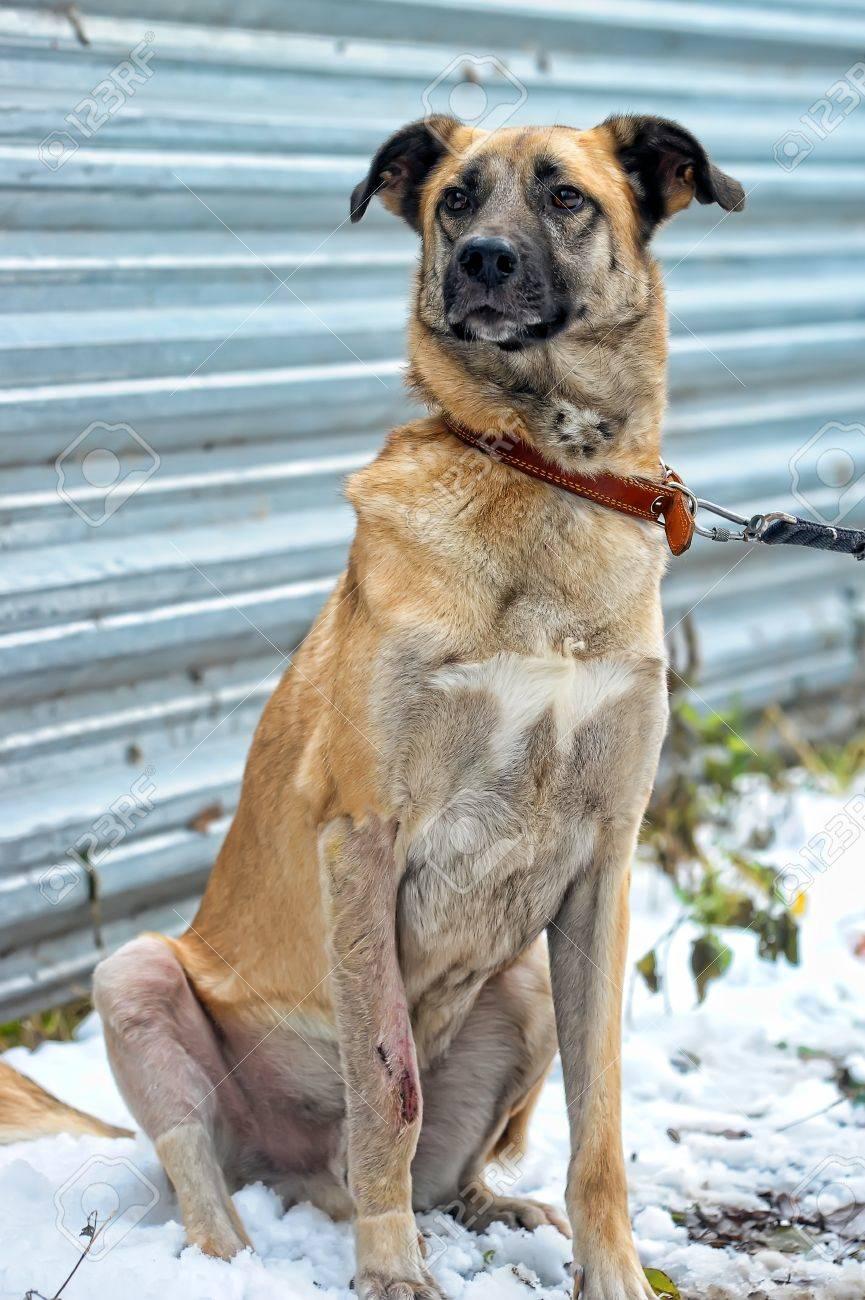 red dog Stock Photo - 16194406